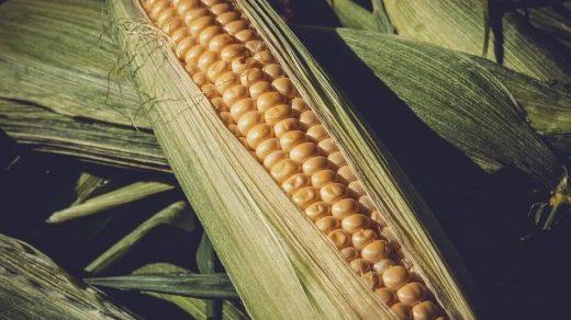 kukurydzę